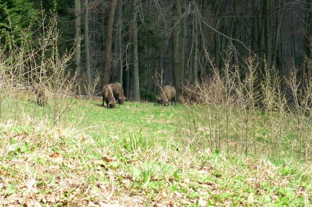 Wild buffaloos